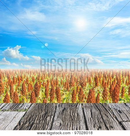 image of sorghum field and clear blue sky for background usage.