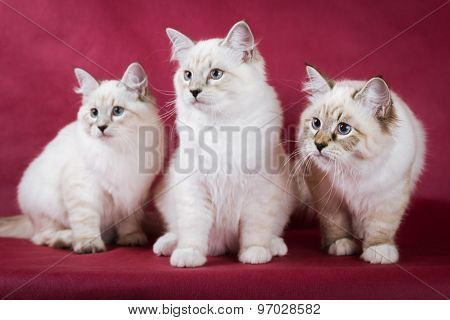 group of neva masquerade kitten on red background