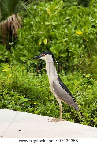 Black crowned night heron on nature background. Nycticorax nycticorax.