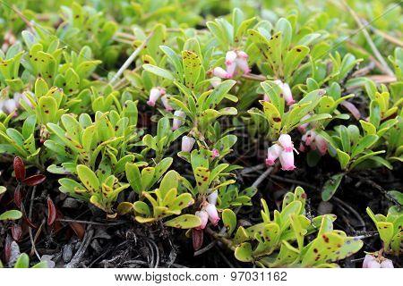 Pink Wild Flowers, Kinnikinnik Flowers, Arctostaphylos Uva-ursi,