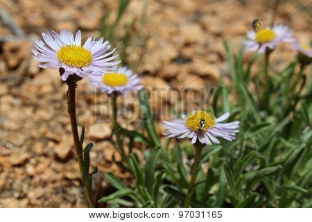 Purple Sunloving Aster Flowers, Aster Foliaceus, Growing In Colorado