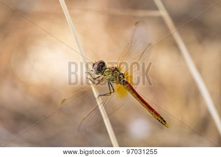 Closeup Macro Shot Of Beautiful Dragonfly With Amazing Colors Resting On A Twig