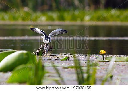 Black Tern Sitting On Water Vegetation Of The Lake.