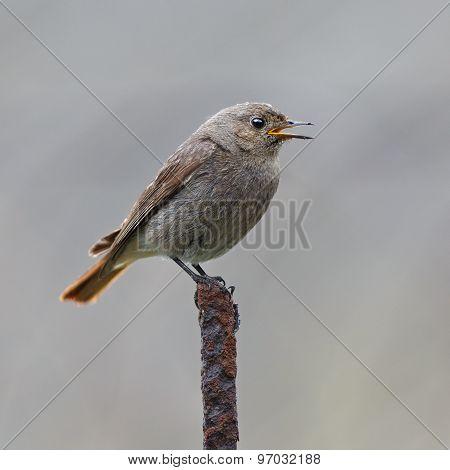 Adult Wild Bird Photographed Close. Ruticilla