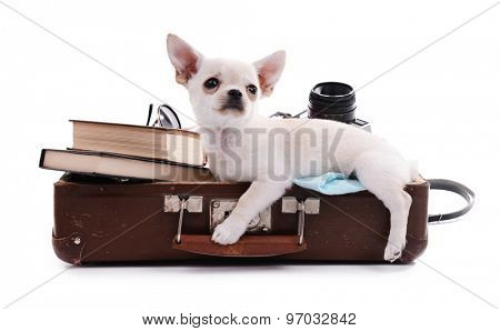Adorable chihuahua dog in suitcase with things isolated on white