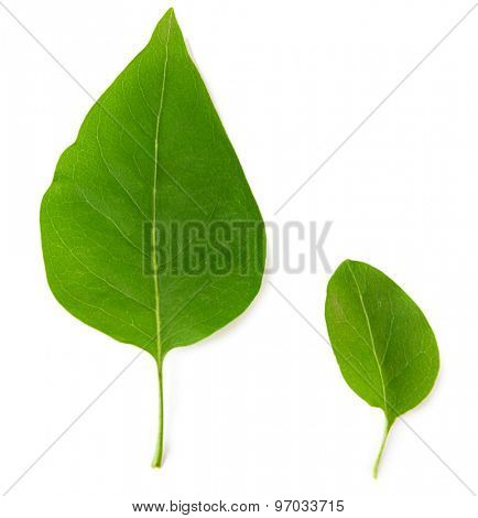 Beautiful green leaves isolated on white