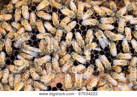 Honeybees On Brood Comb
