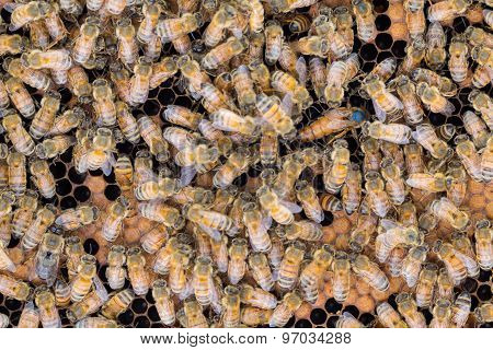 Queen Honey Bee With Emerging Egg