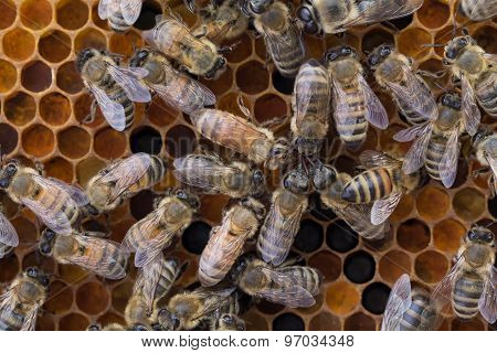 Worker Honeybees On Frame Of Pollen