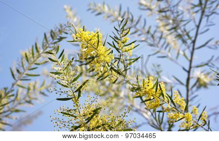 Australia Yellow Wattle Flowers Acacia Fimbriata Brisbane Golden Wattle