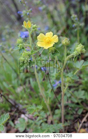 Yellow Wild Flower, Bur Avens Flower, Geum Macrophyllum,
