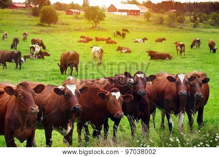 Herd of cows at summer green field