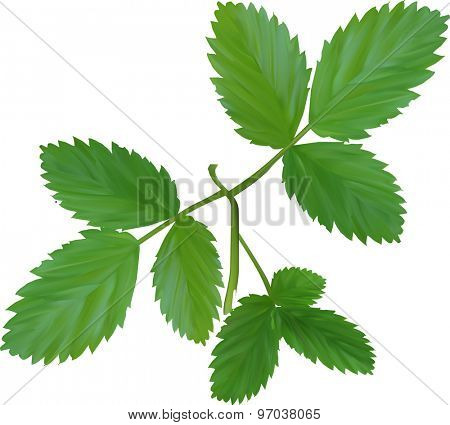 illustration with green foliage isolated on white background