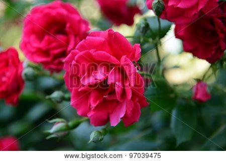 Beautiful roses growing in garden