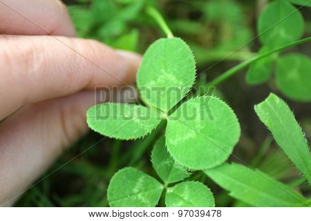 Clover leaves, closeup