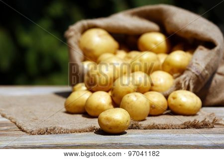 New potatoes in sackcloth bag on wooden table on natural blurred background