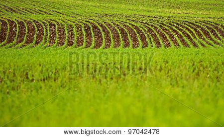 Field Crop Growing Furrows