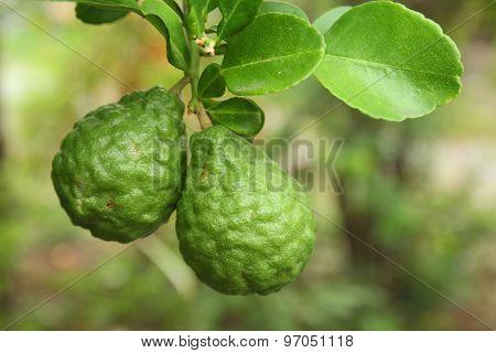 Leech lime