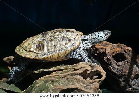 Diamondback Terrapin Tortoise