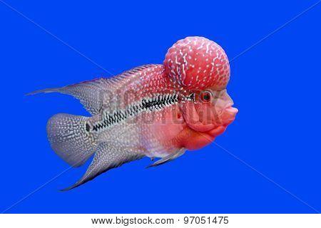 Flowerhorn Cichlid Or Cichlasoma Fish