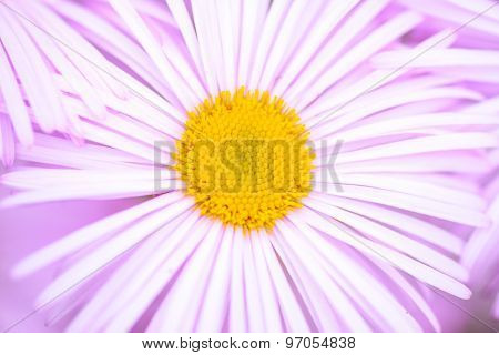 Closeup of Aster alpinus