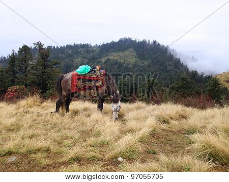 The Horse Is Eating Grass On A Field In Poonhill, Nepal