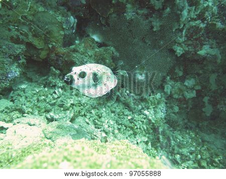 closed up the dog-faced puffer in north andaman, Thailand