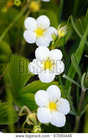 Strawberry Blossoms In Spring