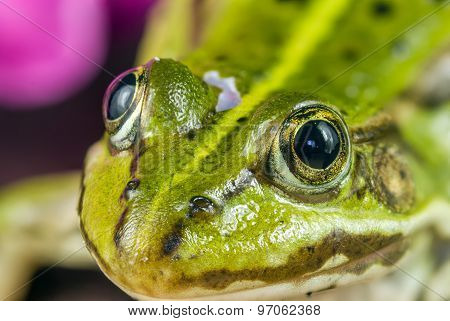 Frogs Eyes Close