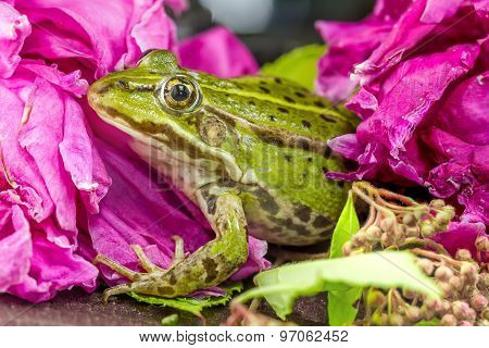 Green Frog Among The Flowers Close