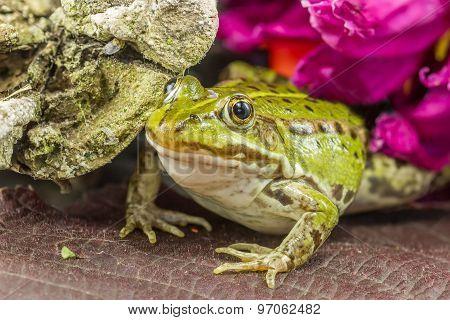Green Frog  Close