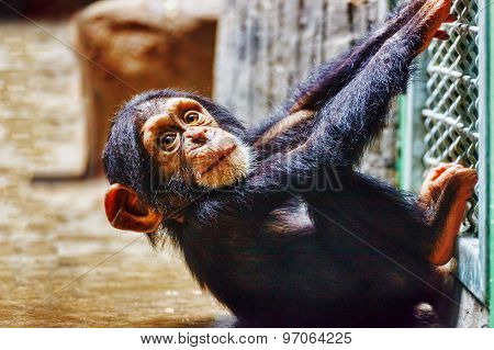 Baby  Chimpanzee Apes  In The Indoor.