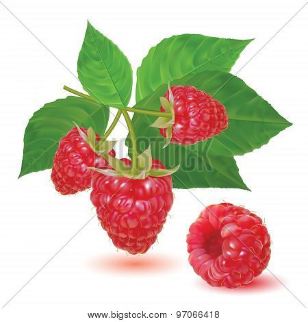Red ripe fresh raspberries on a branch