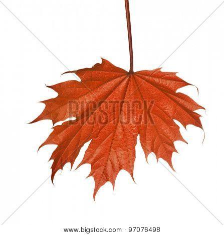 small autumn maple tree leaf isolated on white background