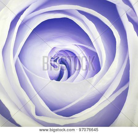macro photo of delicate rose
