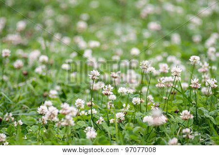 The Blossoming Clover For A Natural Background
