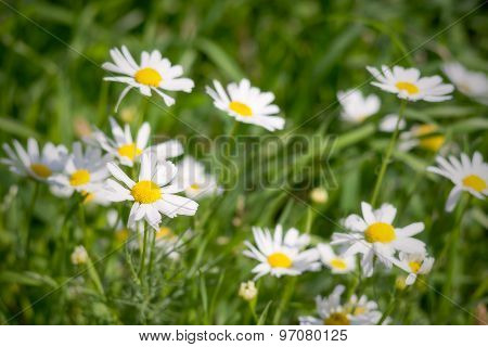 Daisies On A Green Meadow In The Foggy Morning