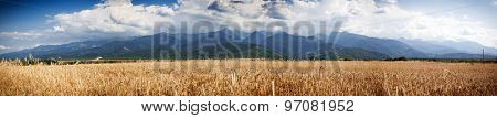 Panorama of wheat field and Fagaras mountains in the background