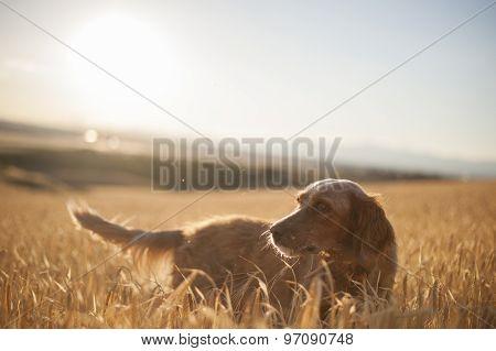 english setter in wheat field