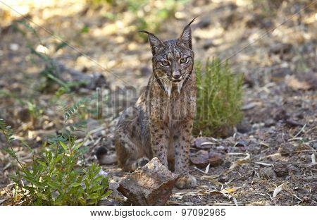 Iberian Lynx Sitting On Alert