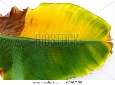 Banana Leaf  On White Background, Background Abstract