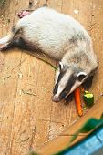 picture of animal teeth  - Funny young badger animal - JPG