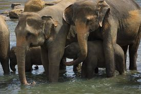 picture of indian elephant  - Heard of adult indian elephants bathing in water - JPG