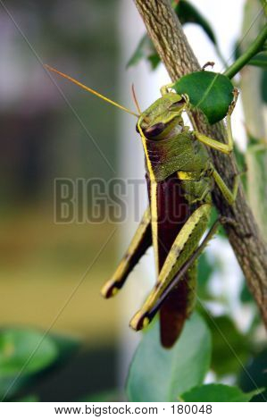 Grasshopper Eating Leaf