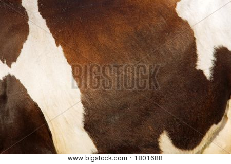 Texture Of Cow'S Skin In Sunset Light