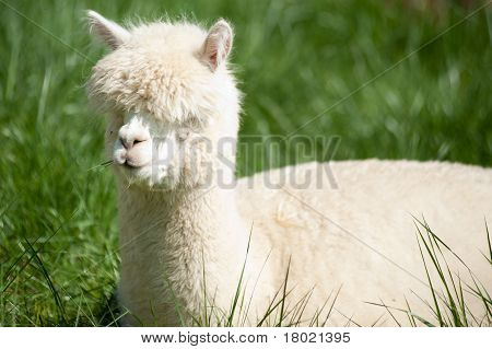 White Alpaka