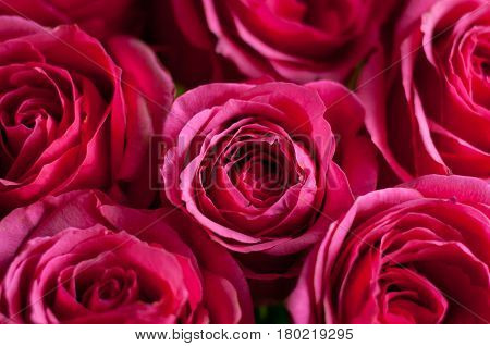 background for greeting card with pink fresh roses