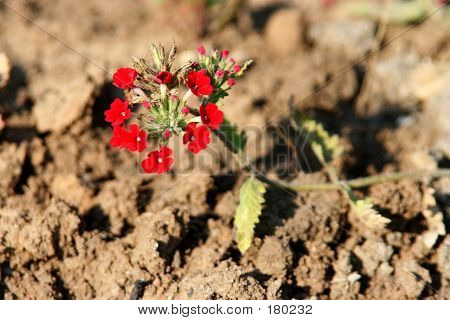 Red Flower On A Dry Field