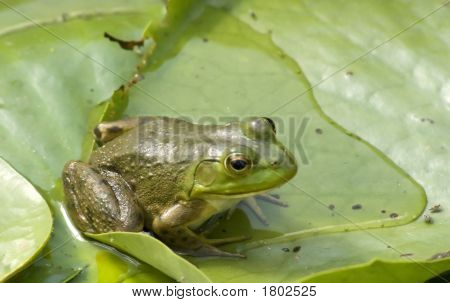 Sharp, Colorful Green Frog