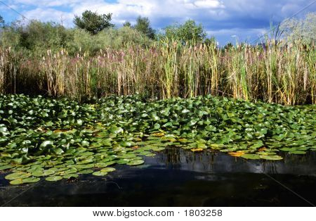 Bulrushes And Lily Pads